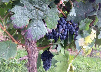 wijn wandelen vakantie Bolsena
